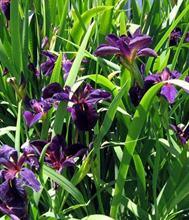 """Iris lousiana """"Black Gamecock"""" - kosatec fialovo čierny"""
