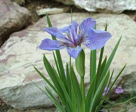 "Iris setona ""Nana"" - kosatec"