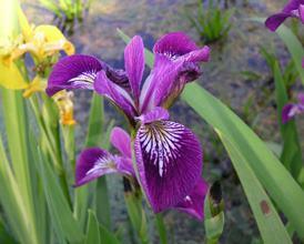 """Iris versicolor """"Kermesina"""" - kosatec rôznofarebný"""